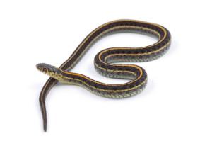 garter-snake