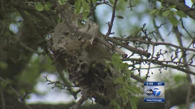 Video: Postal Worker stung 30-50 times by hornets along mail route